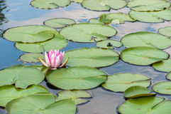 Water lilly in a pond. Water Lilly in the pond among the leaves stock photo