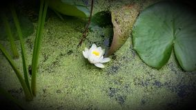 Water lilly Royalty Free Stock Image