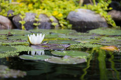 Water lilly. In the pond in spring Stock Photo