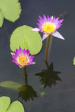 Water lilly in the pool Stock Image