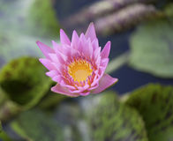 Water lilly in the pool Royalty Free Stock Image