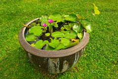 Water lilly in a pot. Nice water lilly in a pot royalty free stock photos
