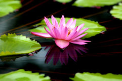 Water Lilly Reflection. Pink waterlilly lies quietly in a reflection pool in a garden Royalty Free Stock Photo
