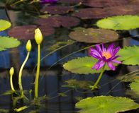 Water lilly. See my other works in portfolio stock images