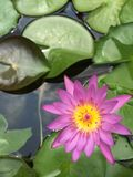 Water lilly Stock Photography