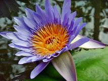 Water Lilly violet color Stock Photo