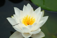 Water lilly. A white water lilly with a tiny dragonfly of some sort Royalty Free Stock Image