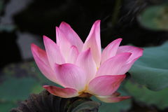 Water Lily 01 Stock Photos