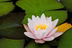 Water Lily. With leaves as closeup in a pond Stock Image