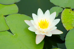 Water lily. A white water lily is abloom Stock Photography