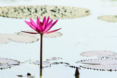 Water lily. Pink water lily flower and bud Royalty Free Stock Photos