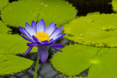 Water-lily Stock Photo