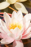 Water lily. Close up of rosy blooming water lily Stock Images