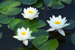 Water lily. Three white water lilys are abloom Stock Images