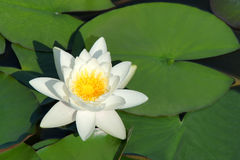 Water lily. A white water lily are abloom Stock Images