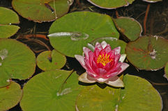 Water Lily. In the pond Stock Photography
