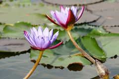 Water lily. Two purple water lilys are abloom Stock Photography