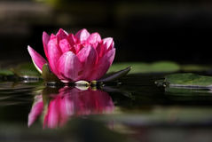 Water Lily Royalty Free Stock Photo