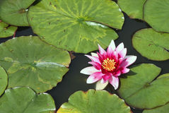 Water lily. Red and white water lily and red leaves Royalty Free Stock Photo