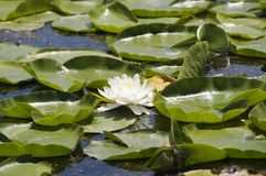 Water-lily Stock Photos