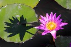 Lotus. Pink Lotus in the Garden Stock Photos