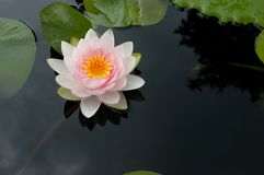 Water Lily. A beautiful pink and fresh water lily flower in full bloom floating on the calm still waters of its pond stock photo