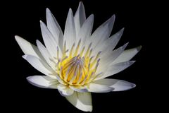 Water Lily. A beautiful water lily isolated on black background (with clipping path Stock Photos