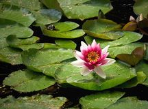 Water lily. A red water lily in the water Stock Photo