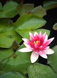 Water lily. A red water lily in the water Stock Image