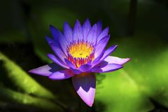 Water Lily. Blue Water Lily, nenuphar, In The Pond Stock Image