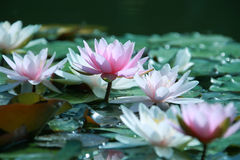 Free Water Lily Royalty Free Stock Image - 12758736