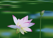Water lily. In a lake  illustration Stock Photos