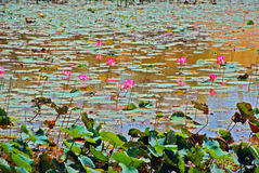 Water lily. Pink water lily in bloom Royalty Free Stock Photo