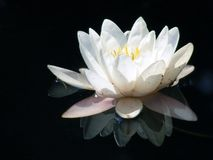 Water lily. Blooming Water lily with white petals isolated on black background Stock Photo