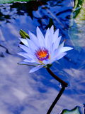 Water-lily. Blue water and flower growing through it Royalty Free Stock Photos