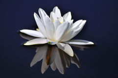 Water lily. Royalty Free Stock Images