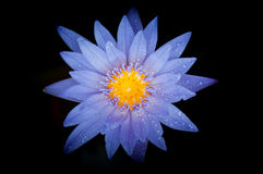 Water lily. Close-up view of water lily with dark background Royalty Free Stock Image