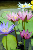 Water Lily. Close Up Of Water Lily,Various Of Colour stock photos