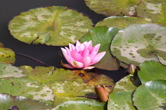 Water lily. A pink water lily in full bloom on a pond Stock Photos