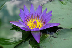 Water lily. In the flower park, Perdana Lake, Malaysia Royalty Free Stock Images