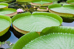 Water lily. Giant water lily (Victoria amazonica) with pink blossom and huge circular leaves Royalty Free Stock Photos