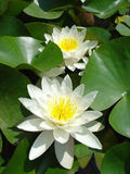 Water-Lily. A white whater-lily in Balchik Castle Royalty Free Stock Photo