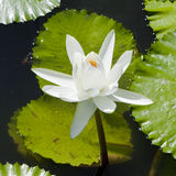 Water lily. White water lily in a pond Royalty Free Stock Images