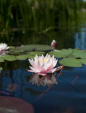 Water lily. Floating on pond Royalty Free Stock Photos