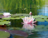 Water lily. Floating on pond Stock Image