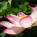 Water lily. Pink water lily with black background Stock Photo