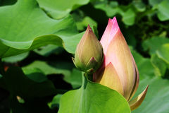 Water lily. Pink water lily with black background Royalty Free Stock Photo