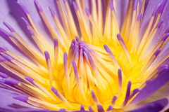Water Lily. Macro of a Purple Water Lily Stock Photo