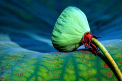 Free Water Lily Royalty Free Stock Photo - 19153915