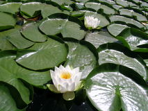 Water Lily. Flowering lily pad on a lake Stock Photo